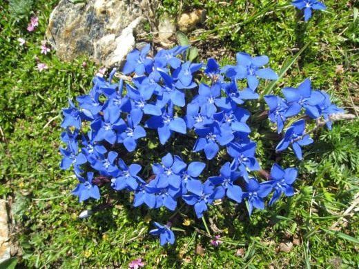 ... Цветы. Садовые растения. Фото: www.botanichka.ru/blog/2011/02/20/gentiana