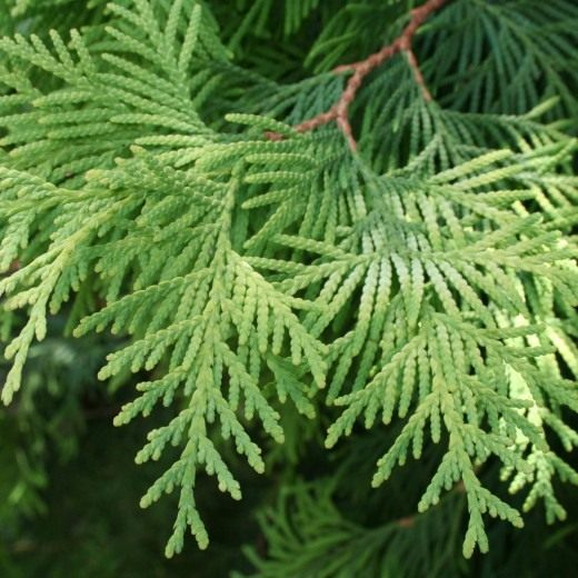 Кипарисовик Лавсона (Lawson's Cypress)
