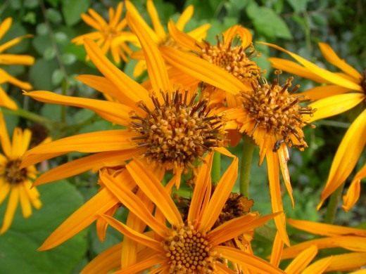 Бузульник, Лигулярия, или Лигулария (Ligularia)