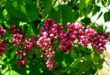 Растение — нимфа