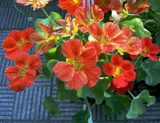 http://www.botanichka.ru/wp-content/uploads/2011/02/Nasturtium1-520x399.jpg