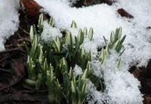 Весна пришла. Подснежник.