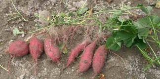 Батат, сладкий картофель