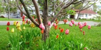 Тюльпаны под яблоней