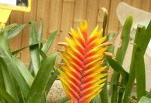 Полосатый родич ананаса