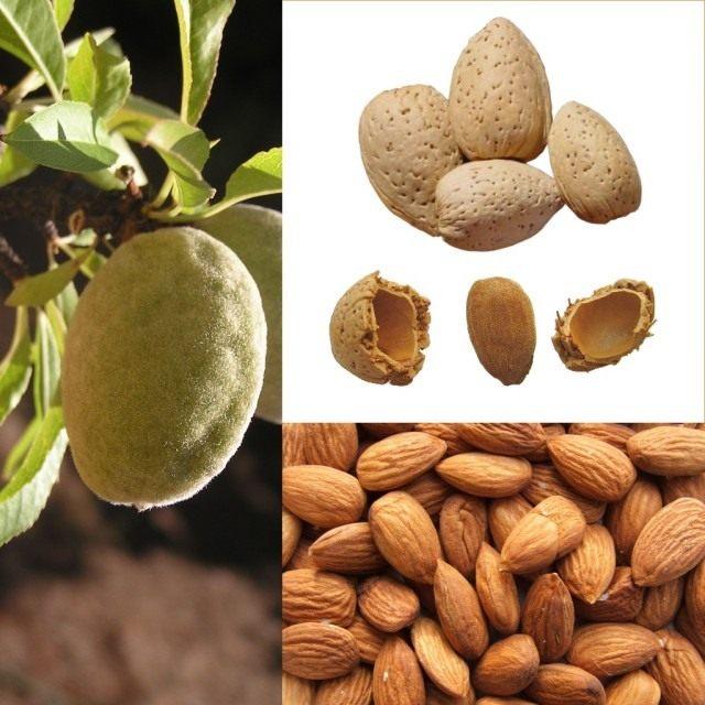 Плод и семя («орех») миндаля.