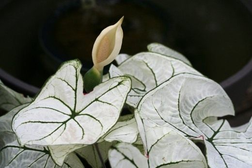 Каладиум в момент цветения