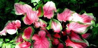 """Каладиум """"Розовая симфония"""" (Caladium 'Pink Symphony')"""