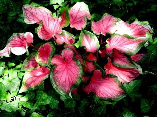 """Каладиум """"Розовая симфония"""" (Caladium """"Pink Symphony"""")"""