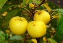 Яблоневое диво