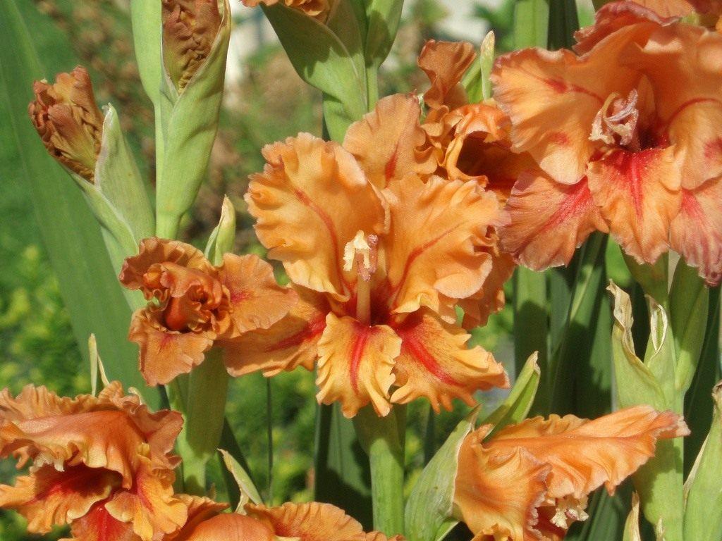 Для цветы как гладиолусы только маленькие