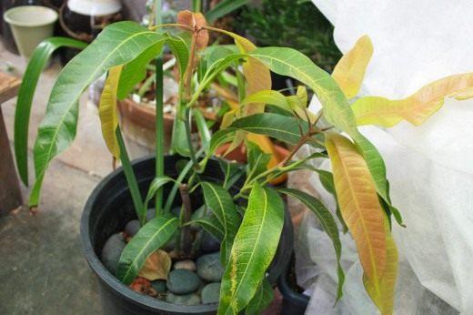 Манго, или Мангифера (Mangifera)
