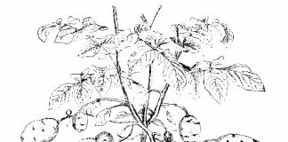 Иллюстрация из учебника ботаники для колледжей. Г. Фишер, Йена 1900г