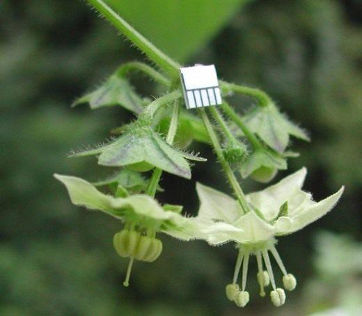 Сараха овощная (Saracha edulis)
