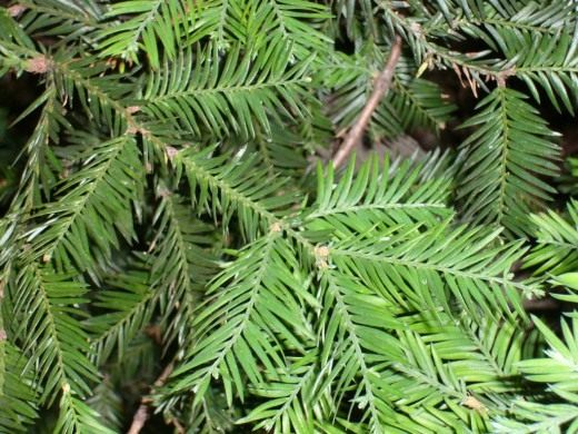 Хвоя секвойи вечнозелёной