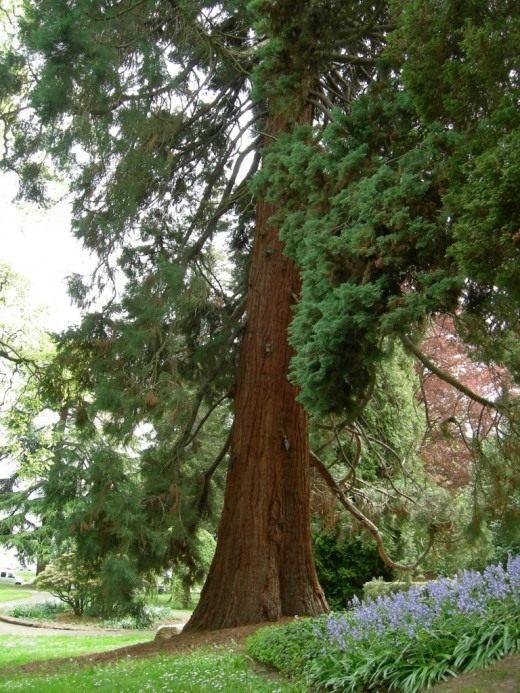 Секвойядендрон гигантский в парке Леши, Сиэтл, Вашингтон