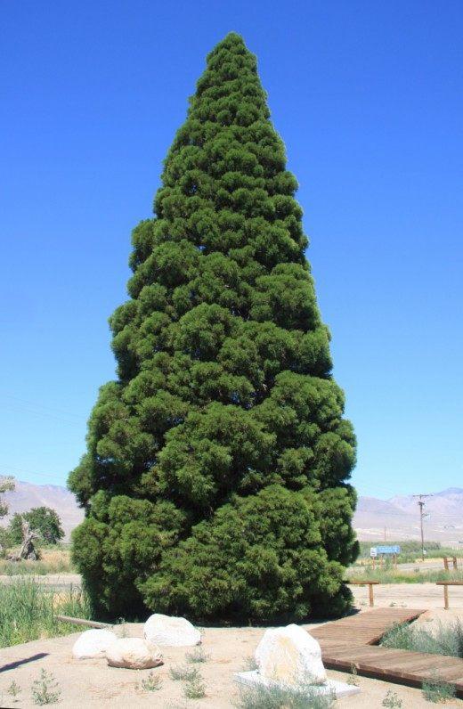 Молодой Секвойядендрон гигантский, растущий в городе Биг-Пайн, штат Калифорния