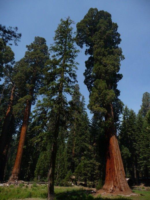 """Секвойядендроны гигантские в Национальном Парке """"Секвойя"""""""