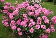 Розы: весенние работы