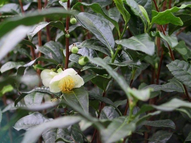 Чай, чайный куст, или камелия китайская (Camellia sinensis)