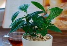 Выращиваем чай дома