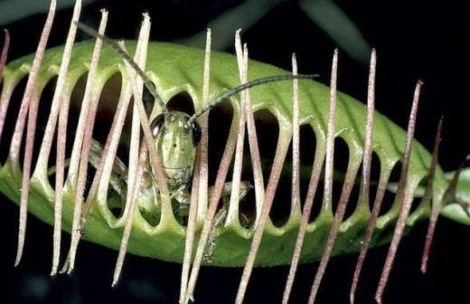 Кузнечик пойманный Венериной мухоловкой (Grasshopper caught Venus flytrap)