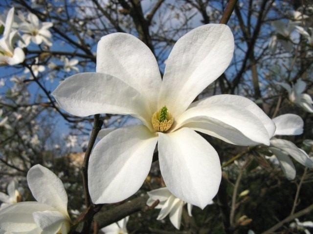 Магнолия иволистная (Magnolia salicifolia)