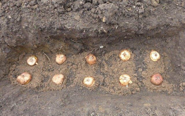 Посадка клубнелуковиц гладиолусов в два ряда