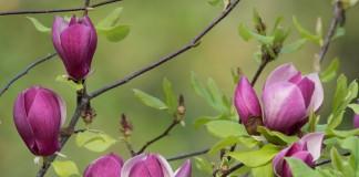 Магнолия лилиецветная (Magnolia liliiflora)