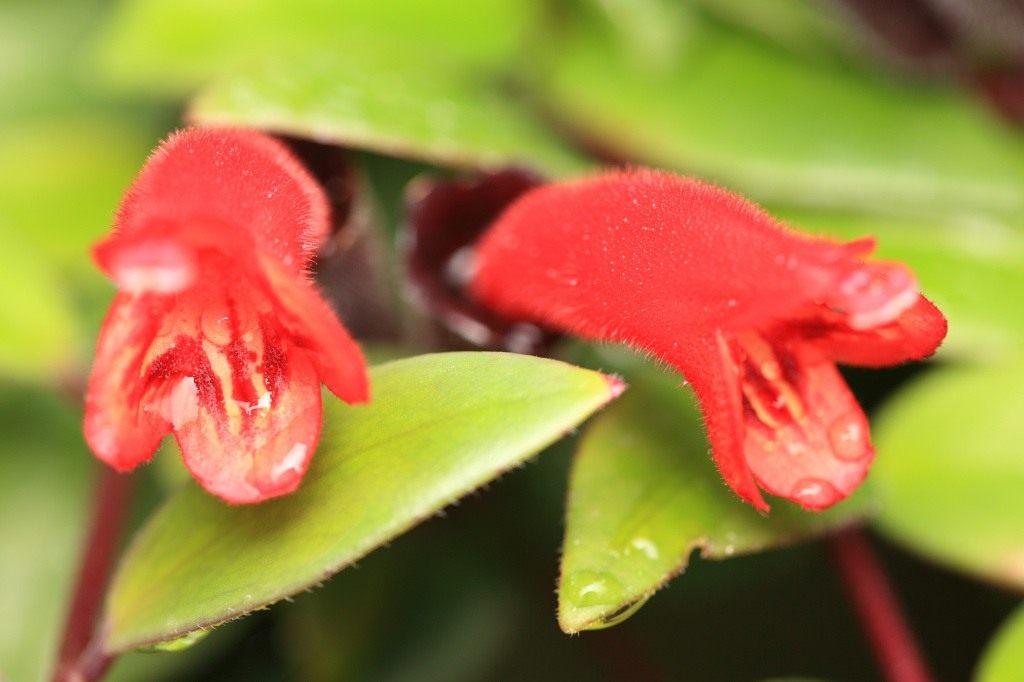 Lipstick plant уход и выращивание 33