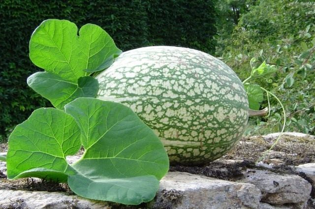 Фицефалия или тыква фиголистная (Cucurbita ficifolia or Chilacayote)