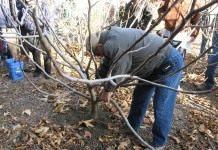 Технология обрезки плодовых деревьев и другие методы для омоложения сада.