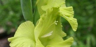 Гладиолус, сорт 'Green Star'