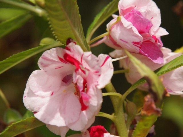 Недотрога бальзаминовая, или Бальзамин садовый (Impatiens balsamina)