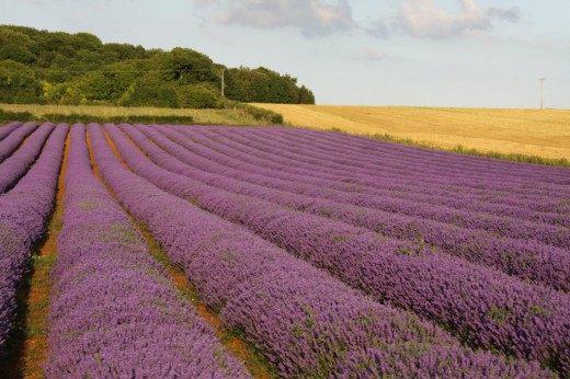 Лавандовое поле в Норфолке (Англия)