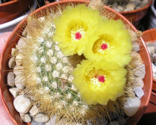 Нотокактус метельчатый, или Пародия метельчатая (Notocactus scopa, Parodia scopa)