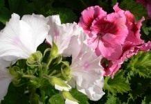 Выращивание пеларгонии крупноцветковой