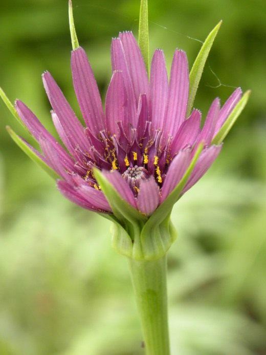 Цветок Козлобородника пореелистного. или Овсяного корня