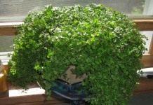 Зеленый ковер солейролии