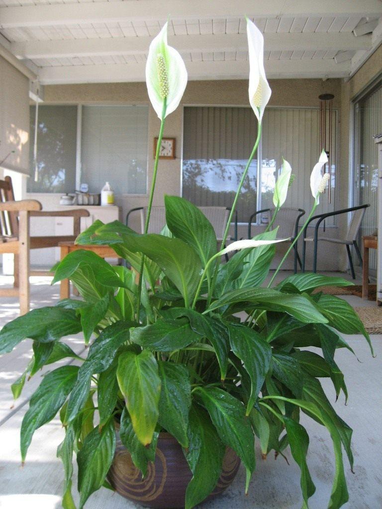 Цветок спатифиллум позеленел