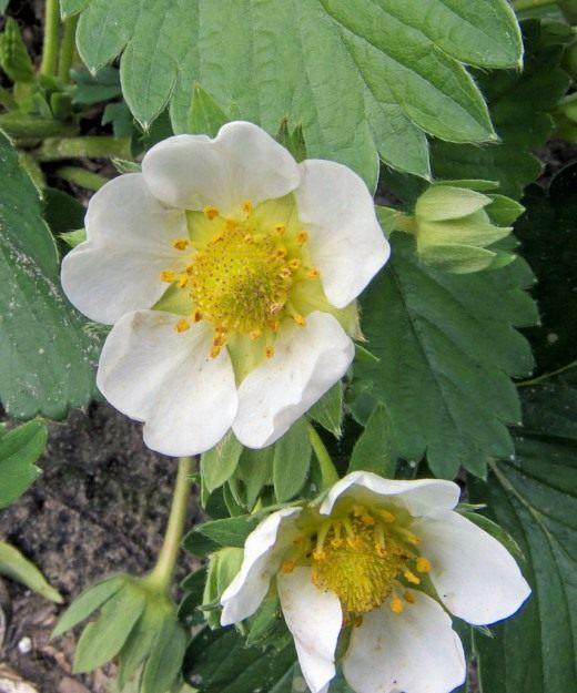 Выращивание земляники садовой Ягодные культуры 48