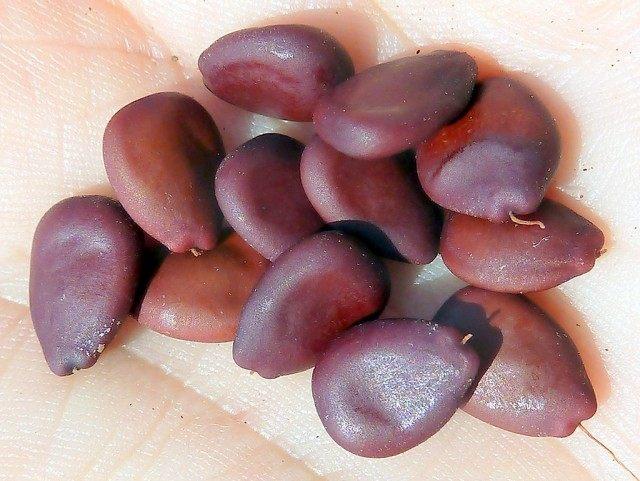Семена рожкового дерева, или Цератонии стручковой