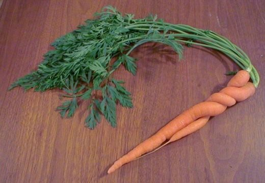 Морковь (Carrots)