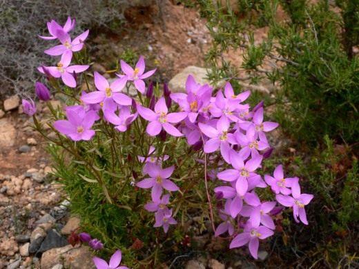 Золототысячник четырёхлистный (Centaurium quadrifolium)