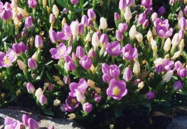 Золототысячник пролесковидный (Centaurium scilloides)