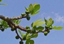 Смоковница – древнее дерево