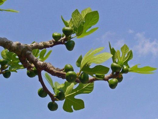 Смоковница — древнее дерево