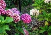 Выращивание гортензий в саду