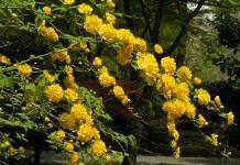 Керрия японская — одна из рода