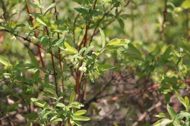 Цветки жимолости съедобной